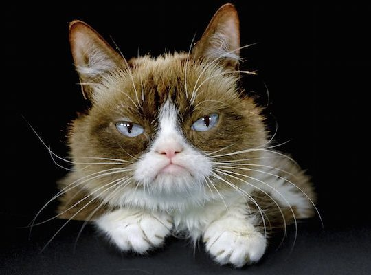 "FILE - This Dec. 1, 2015 file photo shows Grumpy Cat posing for a photo in Los Angeles. Grumpy Cat, whose sour puss became an internet sensation, has died at age 7, according to her owners. Posting on social media Friday, May 17, 2019, her owners wrote Grumpy experienced complications from a urinary tract infection and ""passed away peacefully"" in the arms of her mother on Tuesday, May 14. (AP Photo/Richard Vogel, File)"